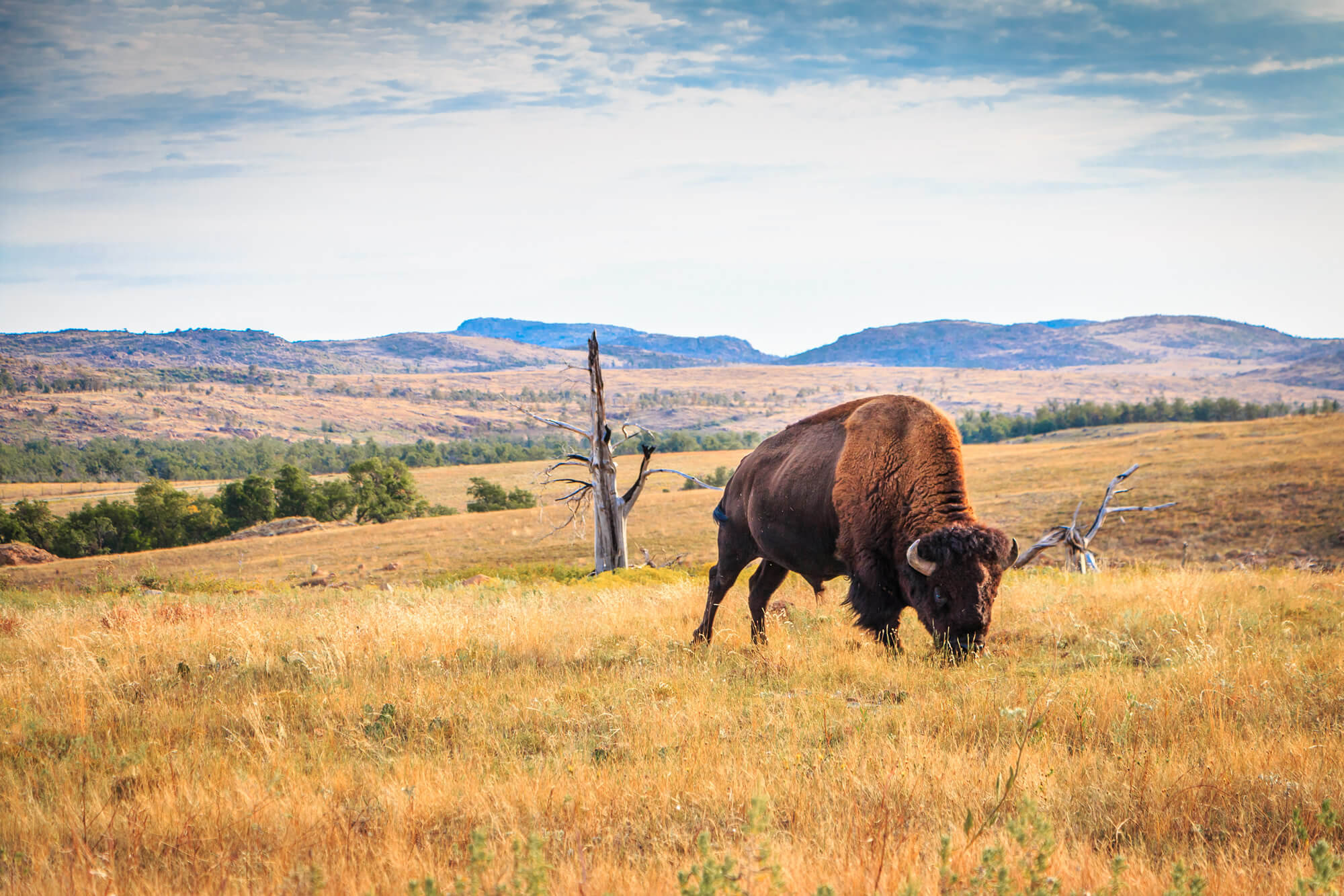 Bison Buffalo Wichita Mountains