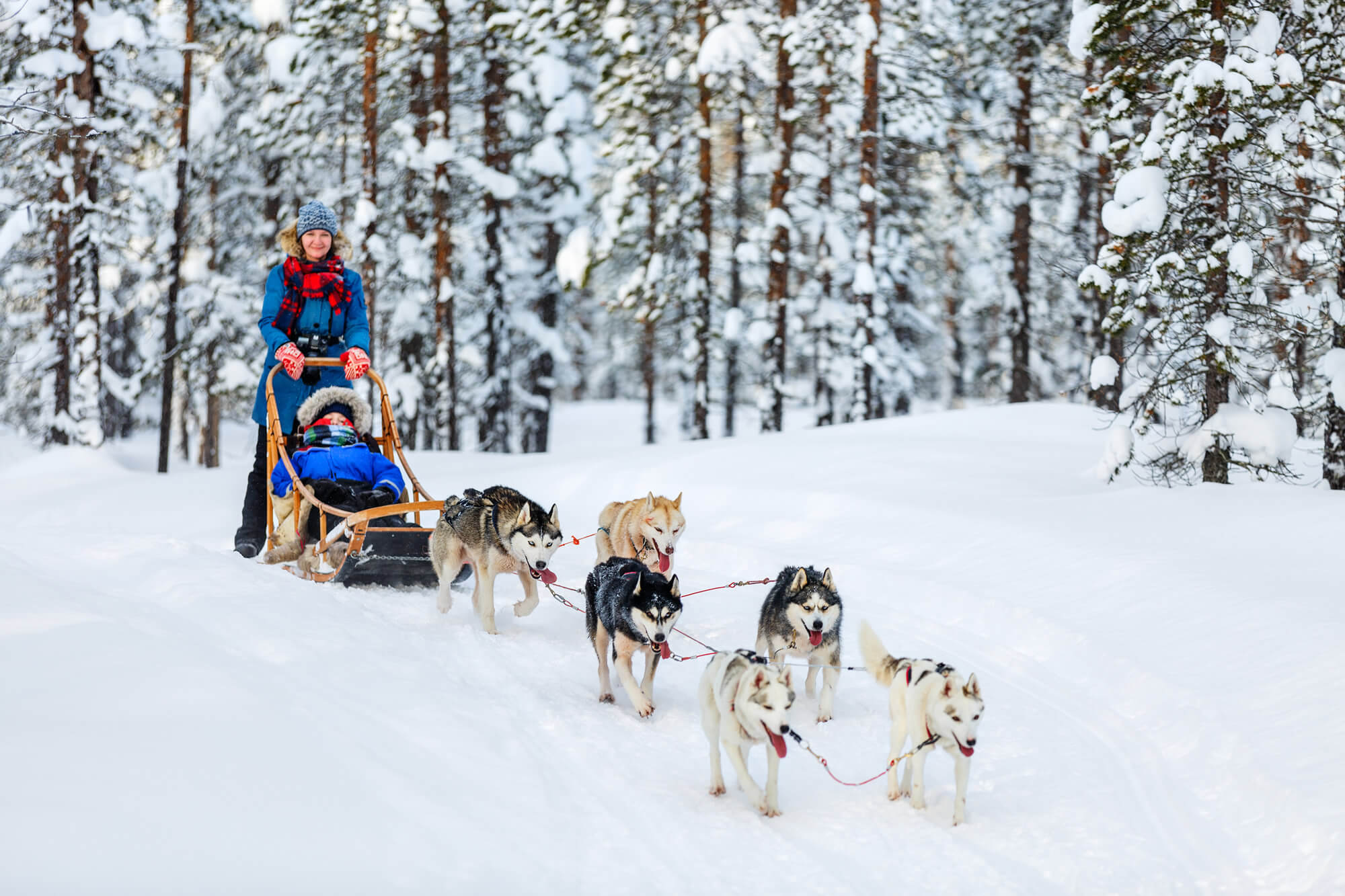 Husky Dogs in Lapland Finland