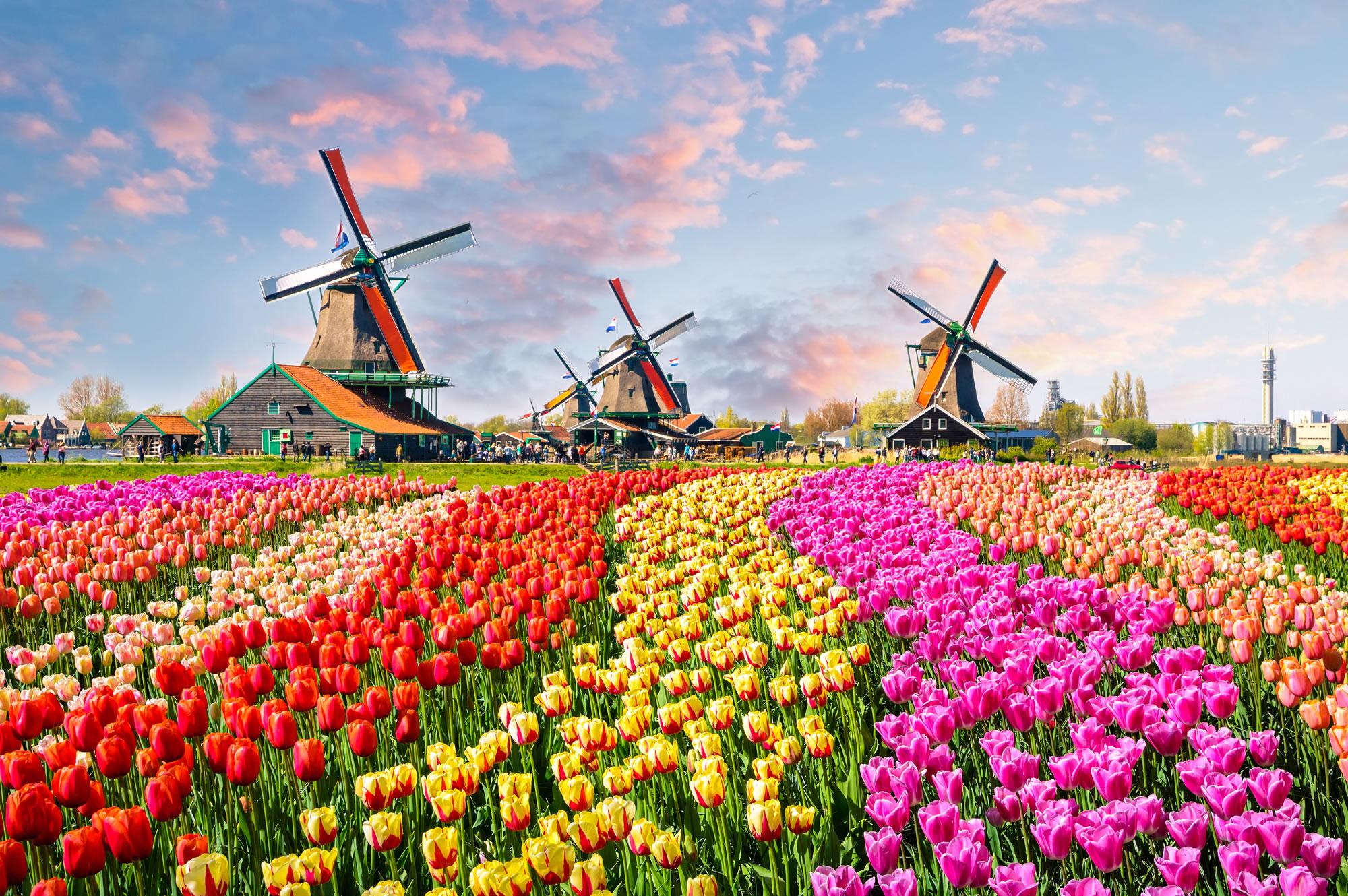 Tulips, Zaanse Schans, Netherlands
