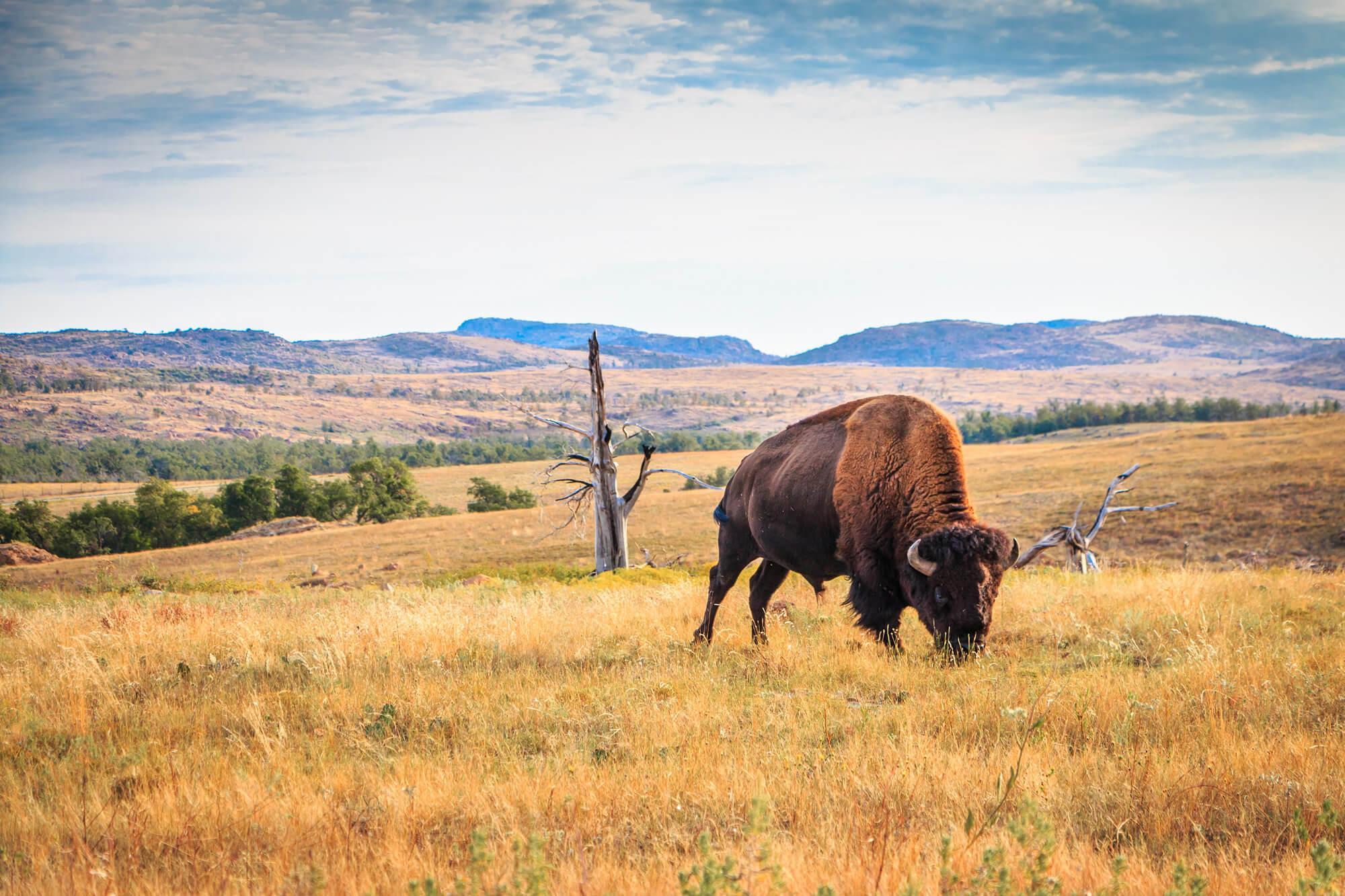 Bison Buffalo Wichita Mountains