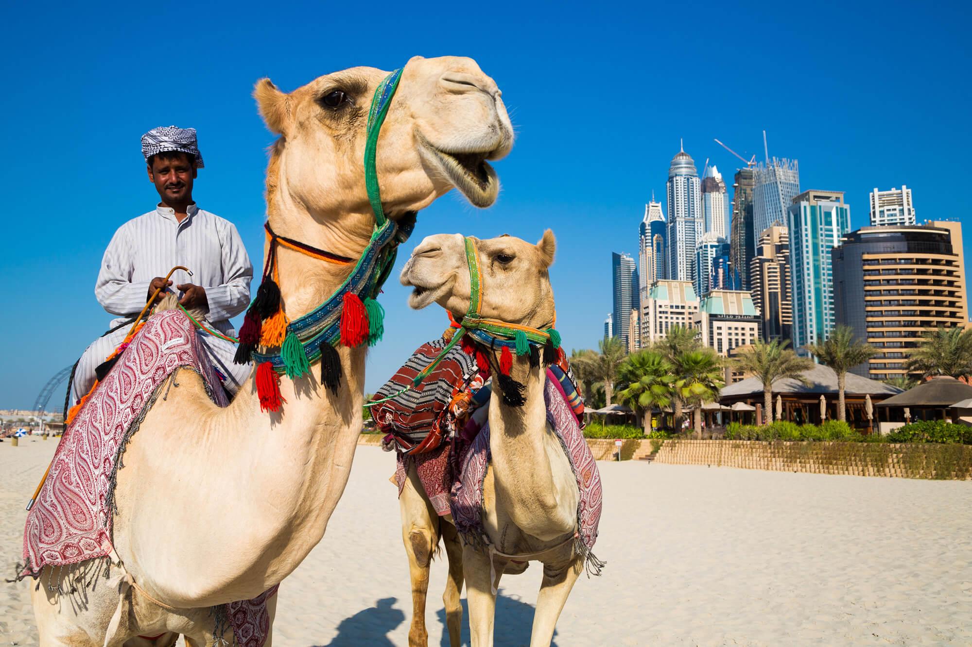 Camels and Dubai Skyscrapers, UAE